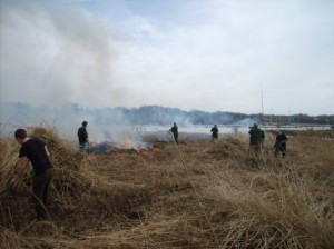 Reed cutting and burning at Mercury Marsh