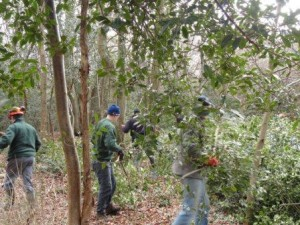 Holly removal in Priors Hill Copse